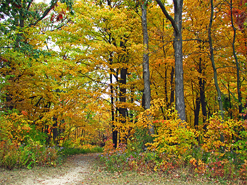 Brightly colored fall maple trees align a path at Tekakwitha Woods Forest Preserve